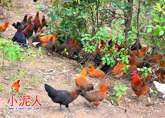 生态鸡1.jpg