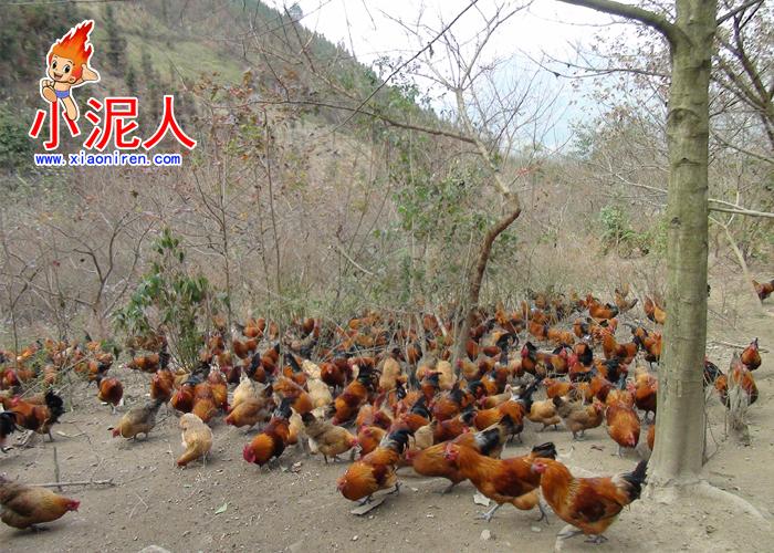生态鸡2.jpg