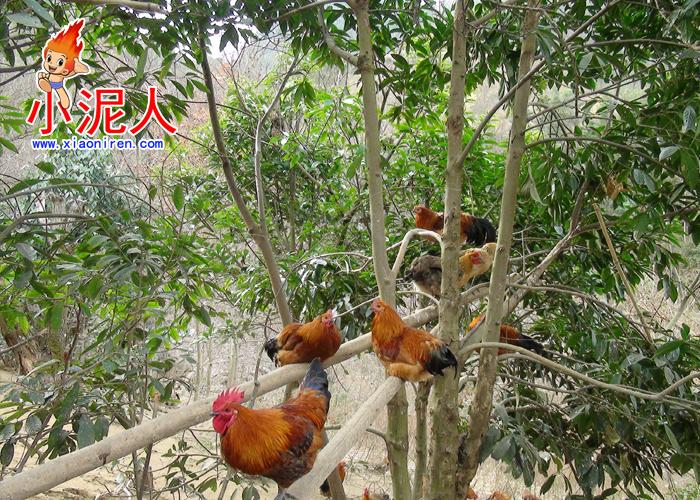 生态鸡5.jpg