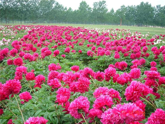 小泥人景区管理系统,携手北京牡丹园打造智慧景区2.jpg